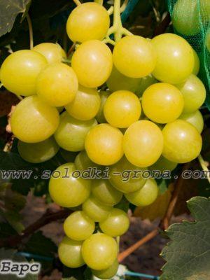 виноград Барс / Bars