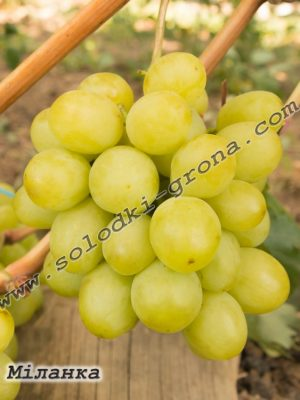 виноград Міланка (Мілана-2) / Milanka