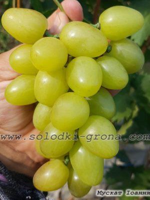 виноград Мускат Іоанни / Muscat of Ioanna
