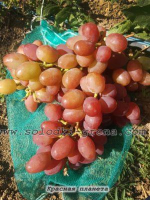 виноград Красная планета / Red Planet