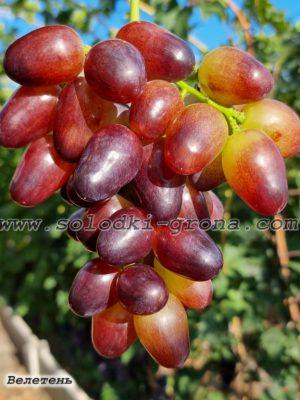 виноград Велетень / Veleten