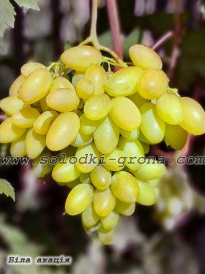 виноград Біла акація / White acacia