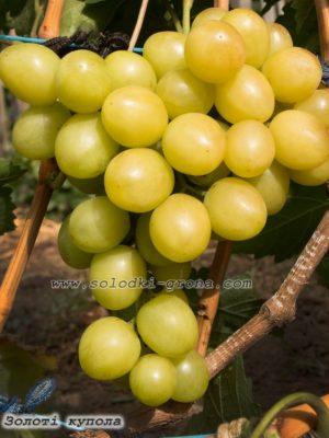 виноград Золоті купола / Golden domes
