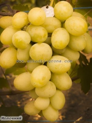 виноград Молочний / Milky
