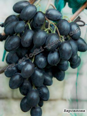 виноград Барселона / Barcelona