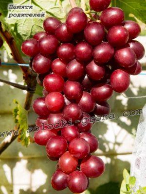 виноград Пам'яті родителів