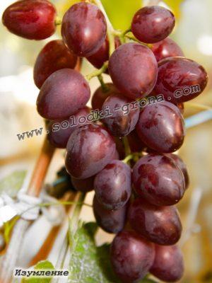 виноград Ізумлєніє / Wonder