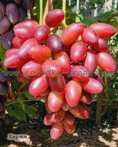 виноград Барин