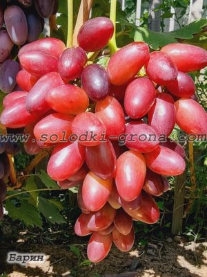 виноград Барин / Barin