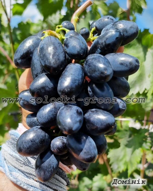 виноград Домінік