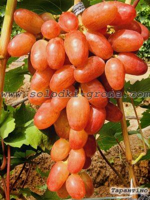 виноград Тарантіно